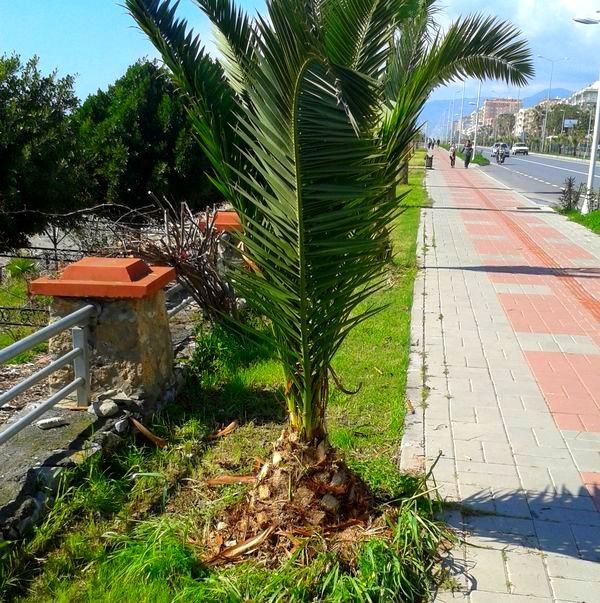 Фото отеля с пальмой в алании турция